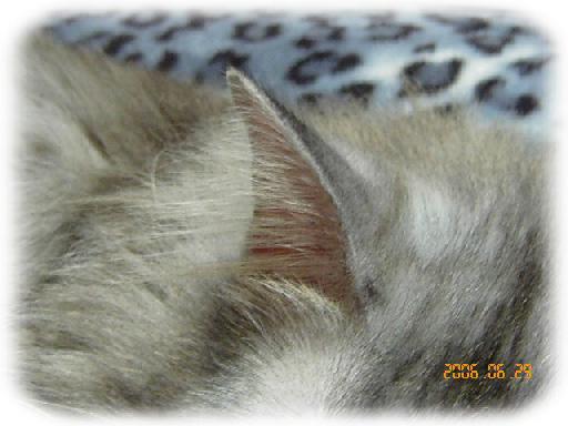 Vind★まっすぐな耳毛