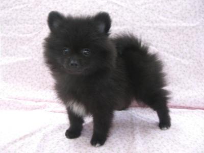 200958 ポメラニアン ブラック