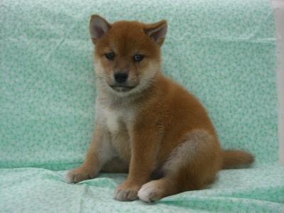 200960  柴犬 赤