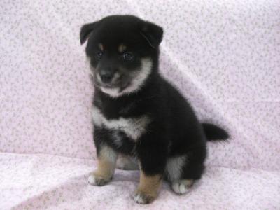 200962 柴犬 黒