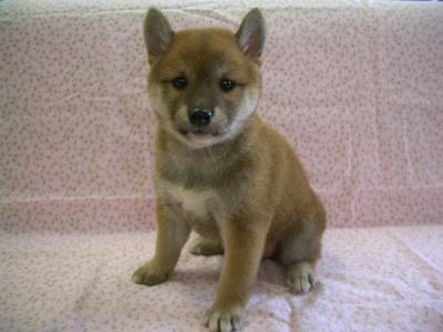201057 柴犬