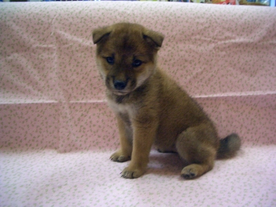 201076 柴犬