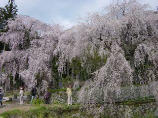 神原のしだれ桜 1