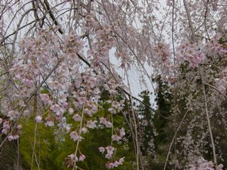 神原のしだれ桜 2