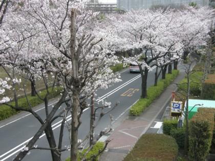 外周道路の桜