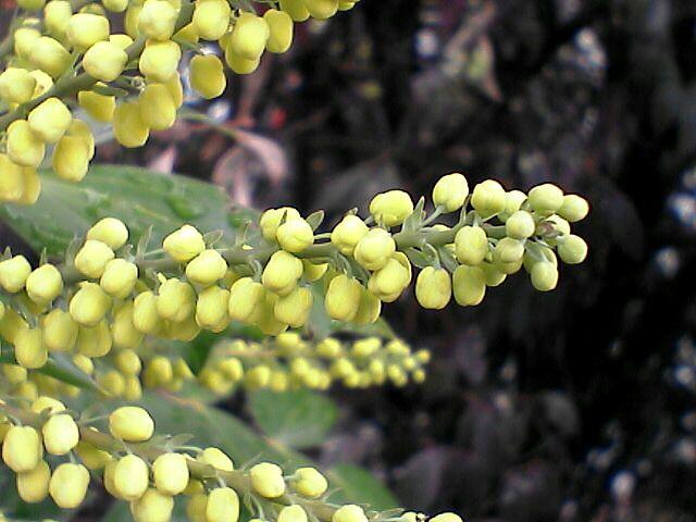黄色い小粒の花3