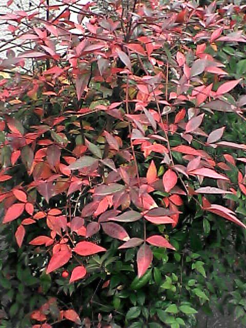 紅葉した葉(080109-01)
