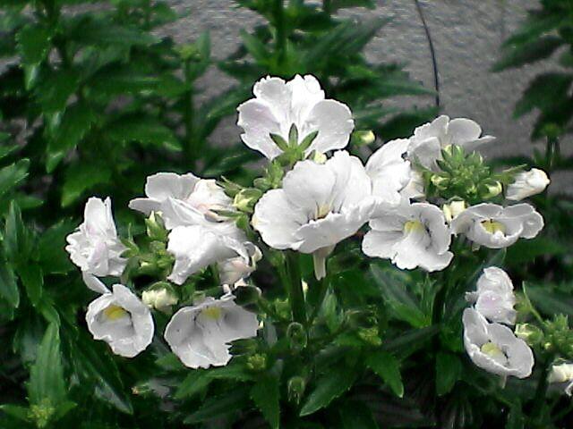 白い花(080109-04)
