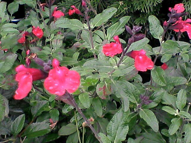赤い花(080109-05)
