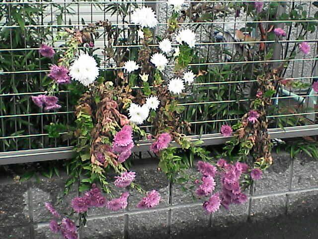 白と桃紅色の花(080109-06)