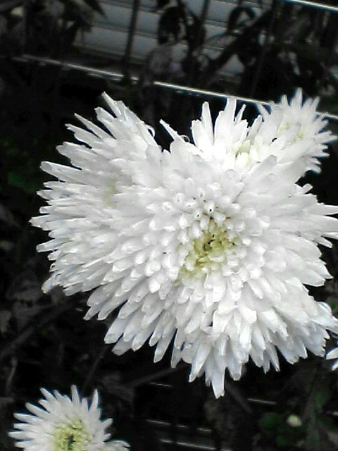 白色の花(080109-07)