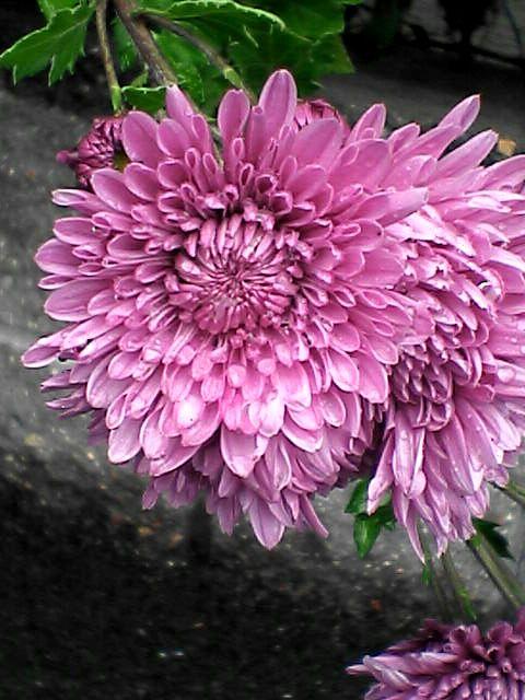 桃紅色の花(080109-08)