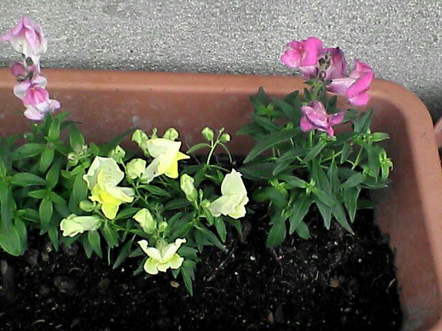プランターの花(080109-09)