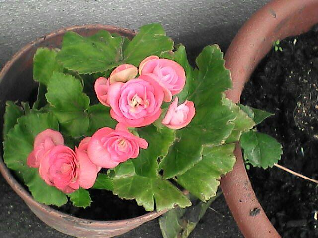 薔薇に似た赤い花(080109-10)