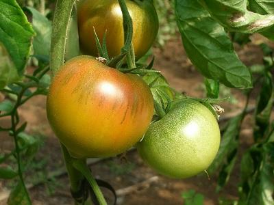 黄金色の果実