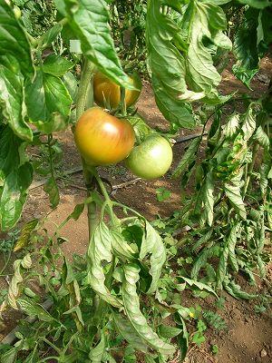 果実がそのときを迎えると葉はゆずる