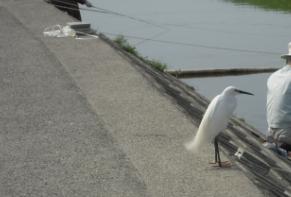 安威川の鷺_01