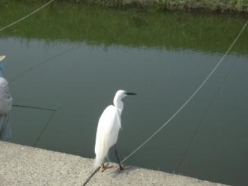 安威川の鷺_03