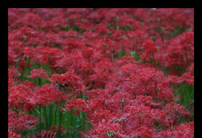 20070929曼珠沙華@巾着田曼珠沙華公園(埼玉県高山市高麗)