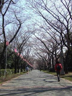 辰巳の桜並木