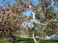 うちのりんごの木