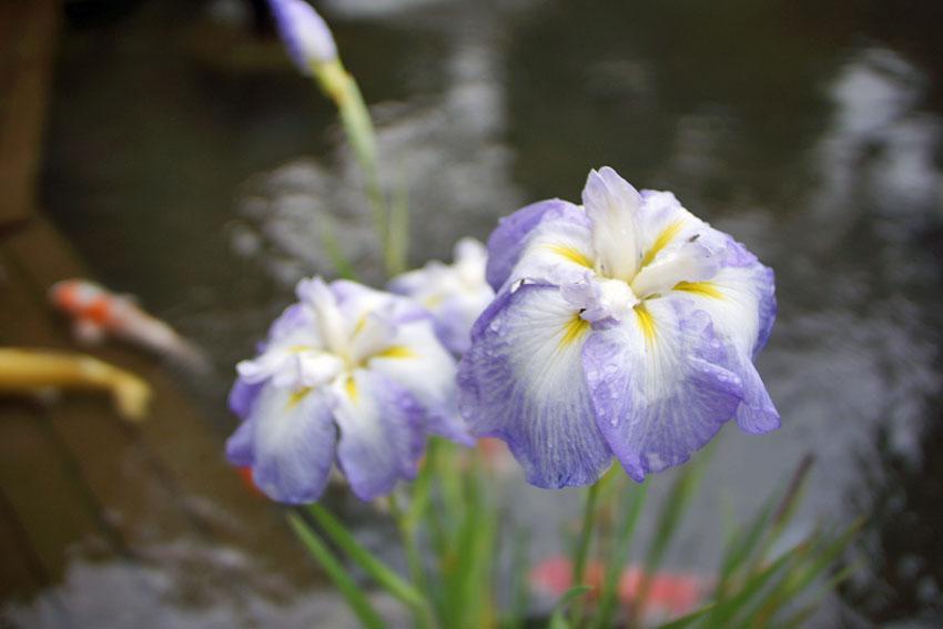 花菖蒲 山の雫