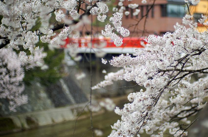 高山市,中橋,桜