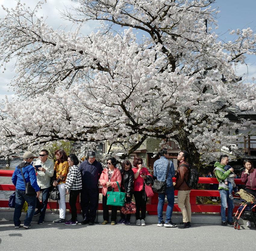 G.V. BLACK DENTAL OFFICE, GVBDO,宮川,高山市,桜,高山祭り