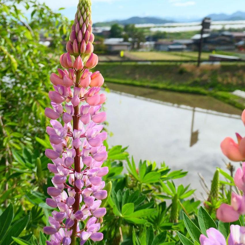 ルピナス,5月の花,豆の花,lupinus