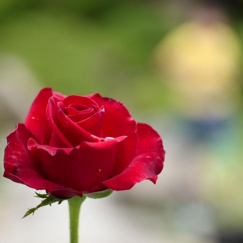 gvbdo,G.V.BLACK DENTAL OFFICE,バラ,rose