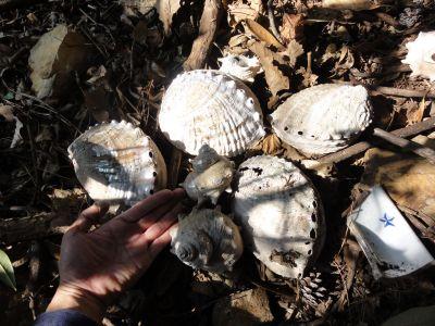 アワビの殻