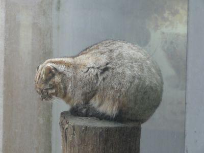 メタボヤマネコ