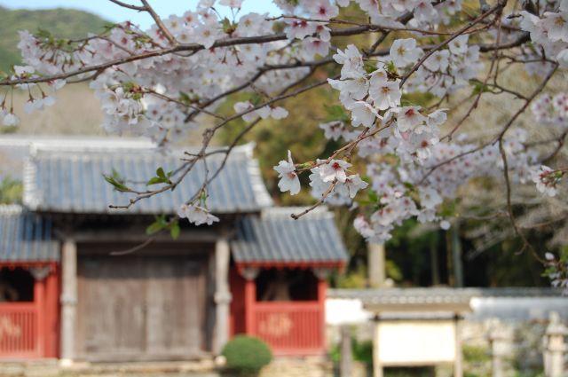 万松院の桜2