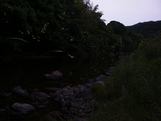 上山地区・ゲンジボタル01