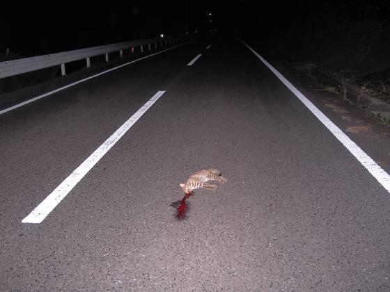 ツシマヤマネコの交通事故
