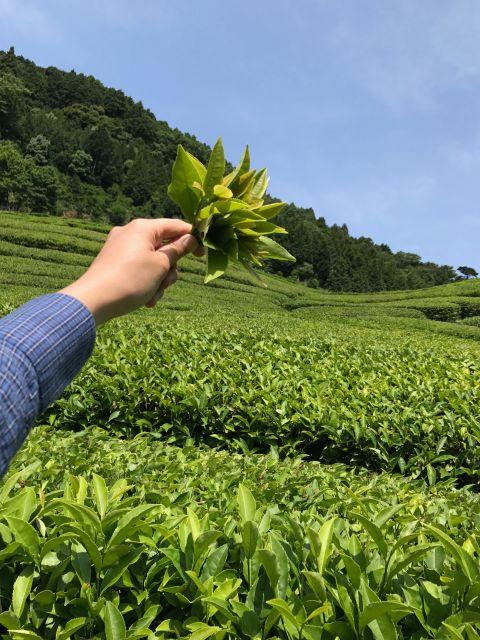佐護・紅茶農園1