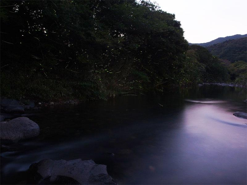 ゲンジボタル・上山地区
