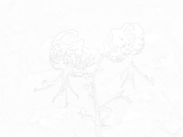 オウゴンオニユリ(モノクロー)