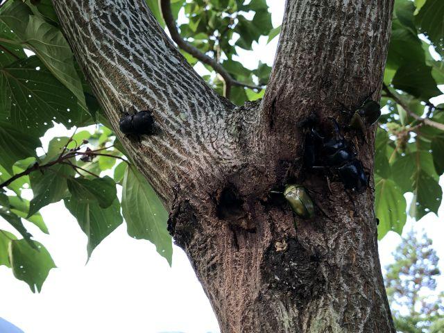 樹液に群がる昆虫たち