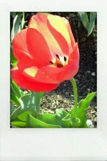 春といえばチューリップ。