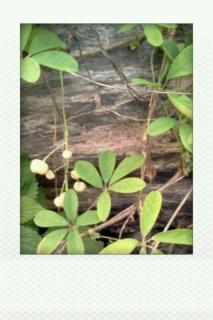 アケビの新葉