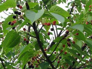 果樹・果物の木・フルーツの木 ブログコミュニティ - 花ブログ村