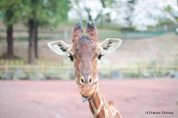 動物写真家 高田千鶴 動物園写真ブログ ごきげんどうぶつえん