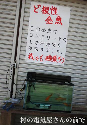 長野県栄村 ど根性金魚