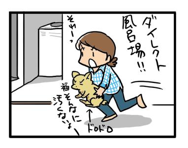 福 チワワ 雨上がり 風呂 シャンプー イラスト