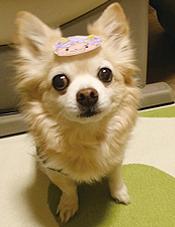 福 チワワ 犬 お面 節分 ロング 漫画 まんが