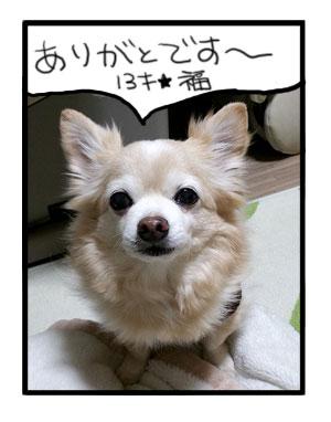 福 誕生日 2017 13歳 チワワ 犬 イラスト 漫画