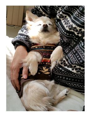 眠り チワワ 福 老犬