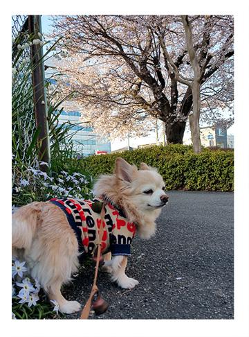 桜 福 サクラ 2017 チワワ 犬 さくら