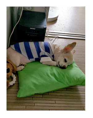 福 チワワ 寝 サマー カット 涼 昼寝
